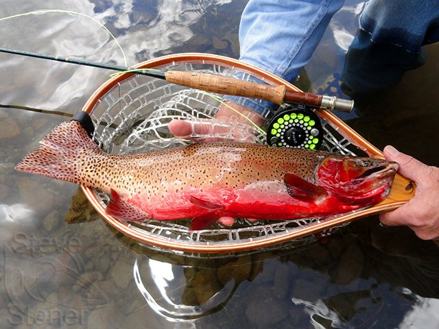 A photo of a fantastic Colorado River cutthroat