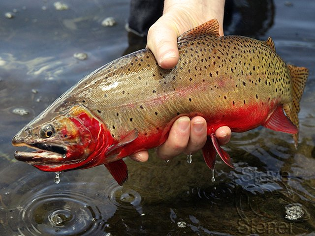 a photo of a fine Colorado River Cutthroat