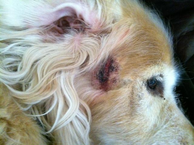Can I Apply Hydrocortisone On My Dog