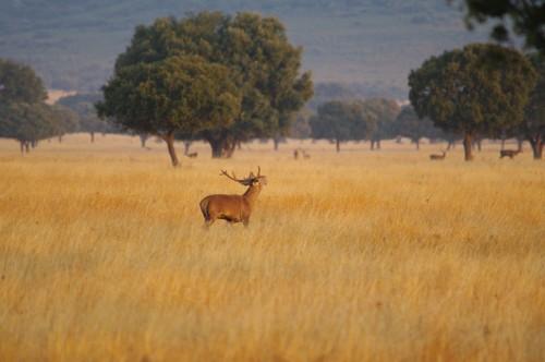 Serenguetti Español