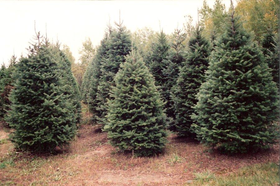 Ottman Family Christmas Trees