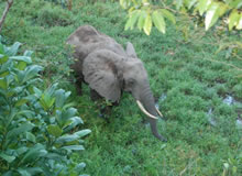 Shimba Hills Safari, Safari from Diani Beach, coastal rainforest safari, sable antelope, forest Elephant