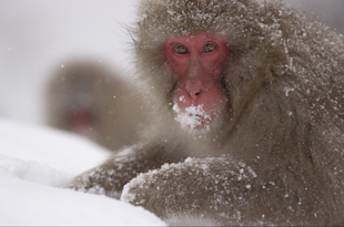 Snow Monkeys Documentary